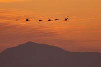 Sandhill Cranes Flying at Sunset